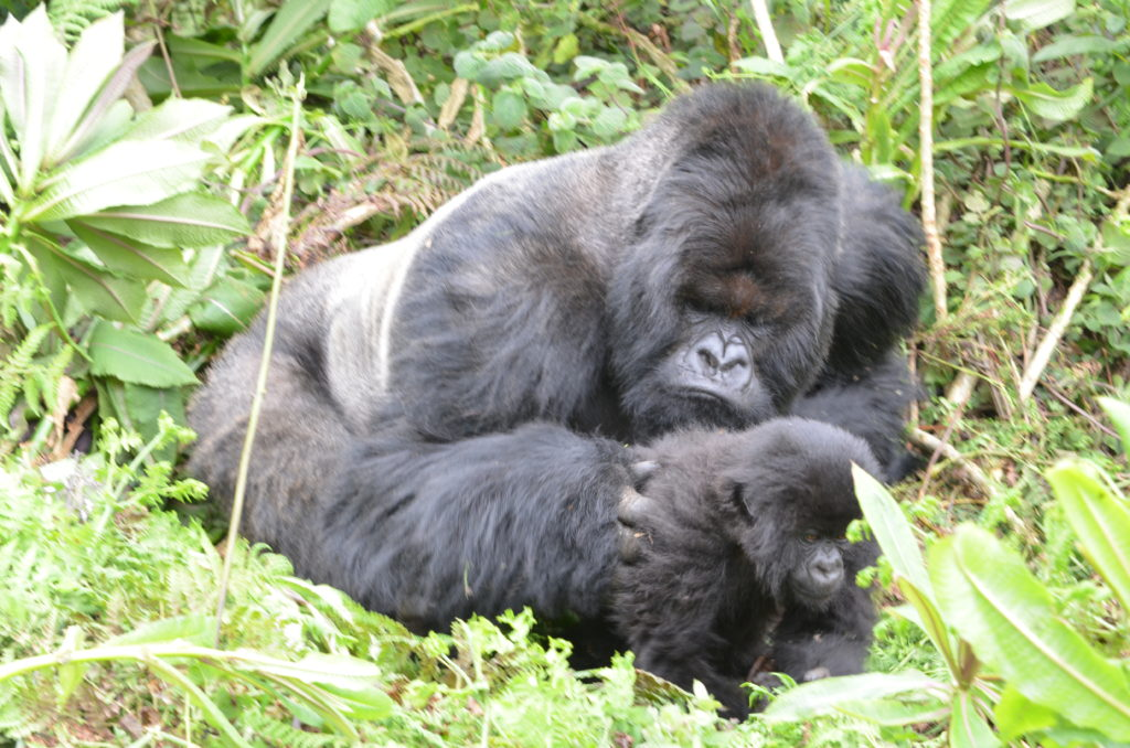 Infant Gorillas silverback and infant gorilla