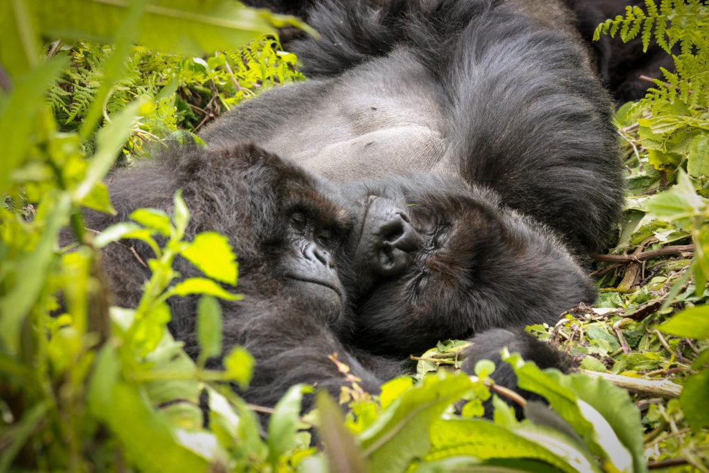 Gorilla resting Gorillas Sleeping