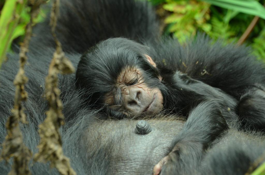 Infant Gorilla Baby Gorilla Sleeping Gorilla