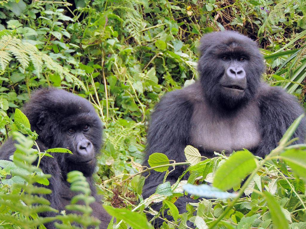 Take Action to Help Gorillas