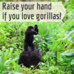 World Gorilla Day Social Media Images