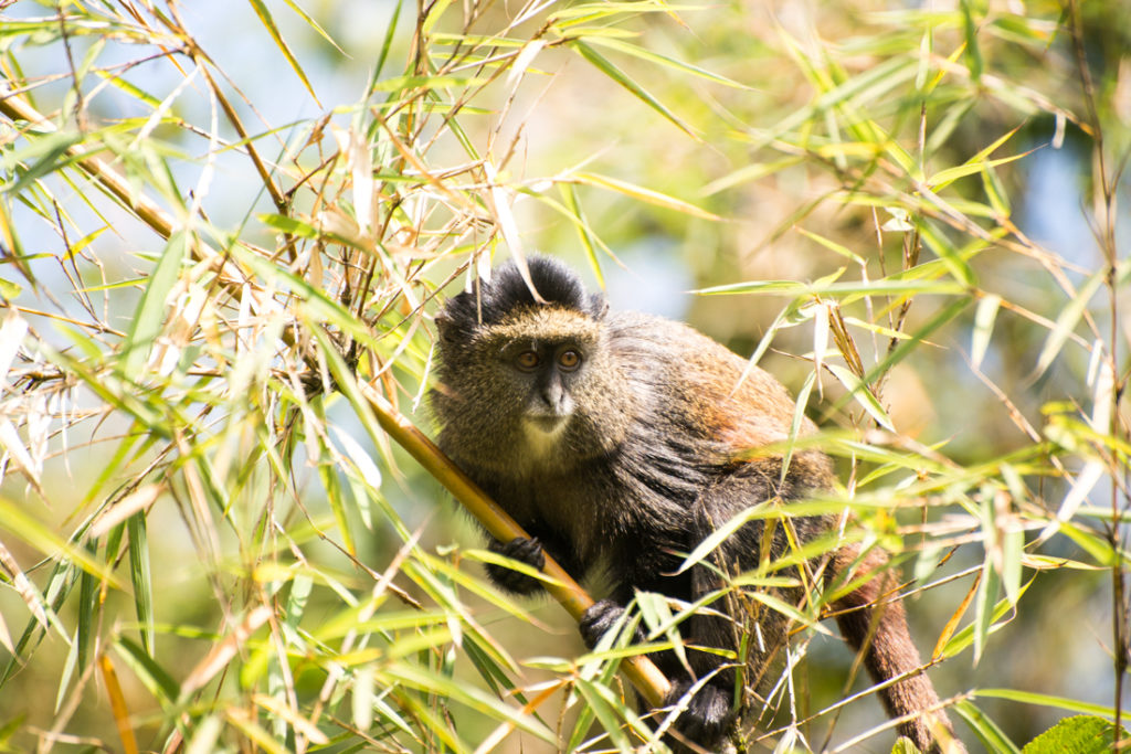 Biodiversity the Fossey Fund studies includes golden monkeys