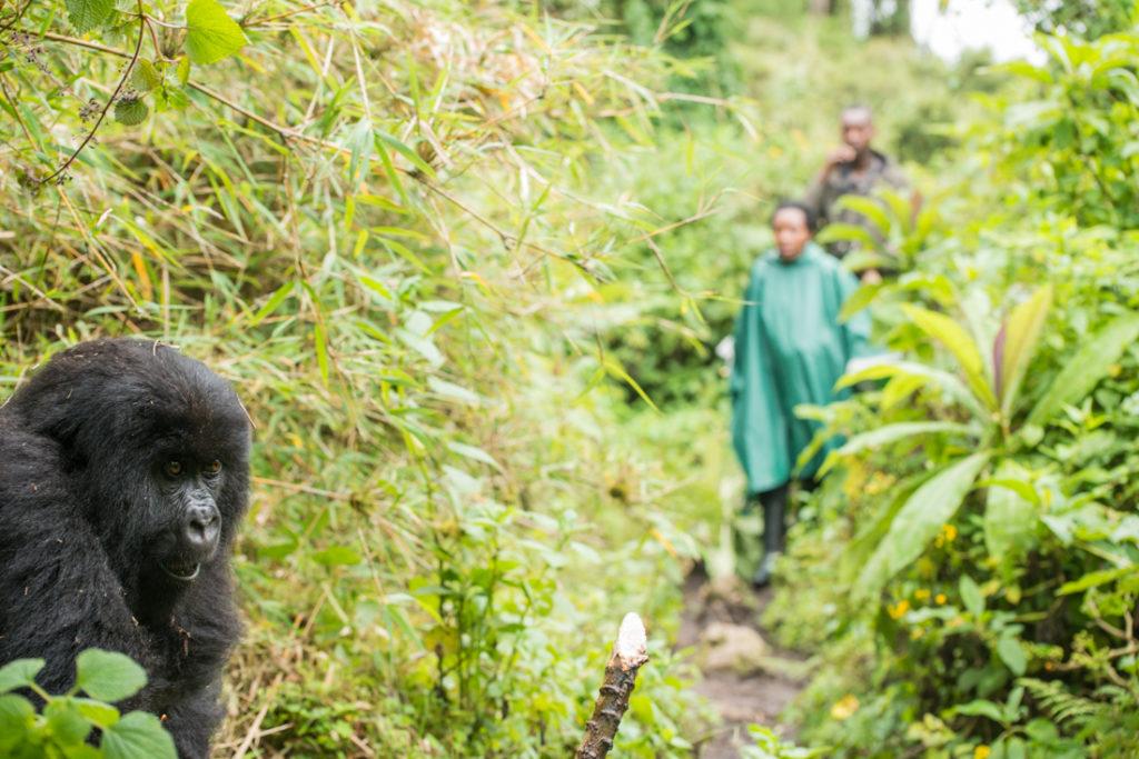 Gorilla scientific research