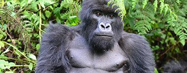 Grauer's Gorillas