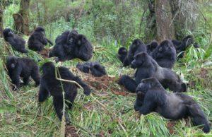A group of Mountain Gorillas.