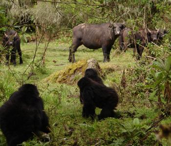 Mountain Gorillas and African Buffelo