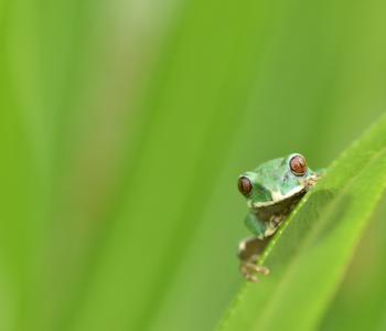 Karissimbi tree frog